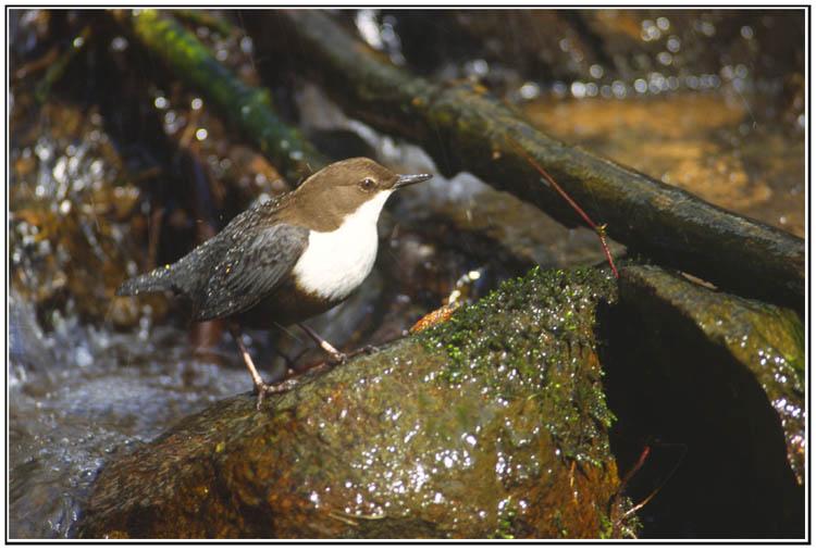 Le coin des ornithologues dans Nature cincle2