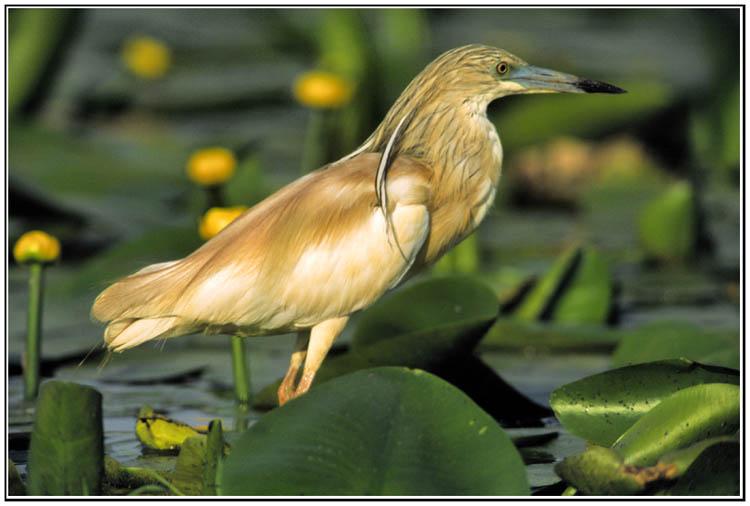 Le coin des ornithologues dans Nature crabier5