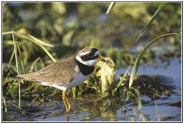 Le coin des ornithologues dans Nature grandgravelot