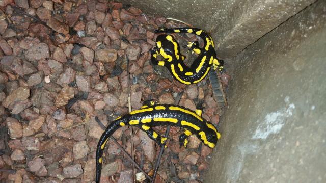 Salamandres tachetées_1