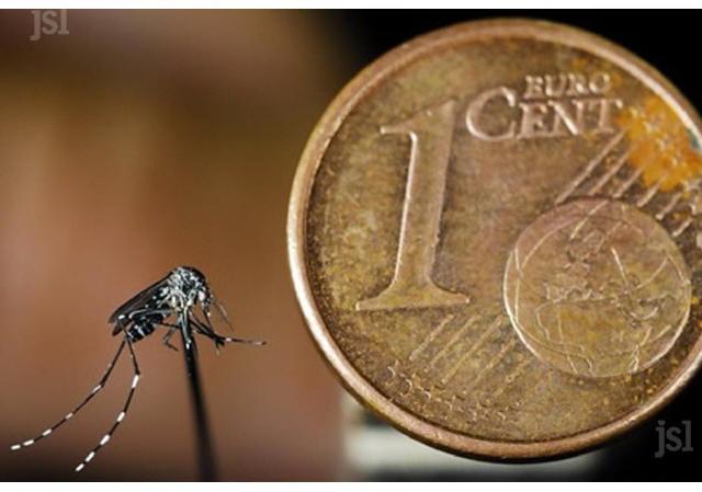 un-moustique-tigre-mesure-environ-5-mm-photo-dr-1464371985_1