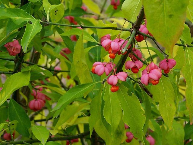 euonymus-europaeus-feuilles-fruits_1
