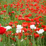 Beautiful summer field with red poppies and white flowers