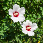 Red white flowers with five petals. Two flowers are not branches